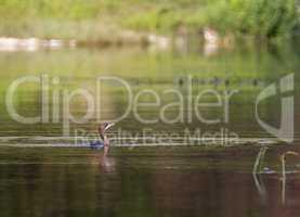 Cormorant bird swimming peacefully