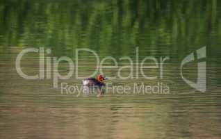 Little grebe duck, tachybaptus ruficollis, in breeding plumage