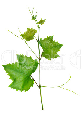 Vine and leaves