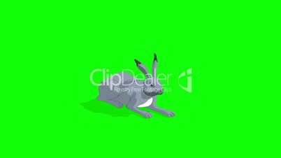 Gray Hare Lying Isolated on Green Screen
