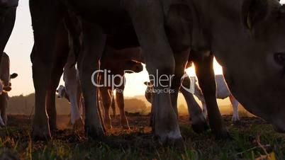 Kühe bei Sonnenaufgang