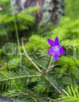 blossoming bluebell (Campanula patula)