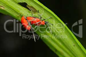 Red bugs (Coleoptera)