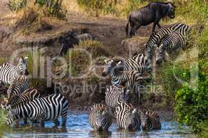 Gnus und Zebras am Wasserloch