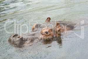 Head of swimming hippo .