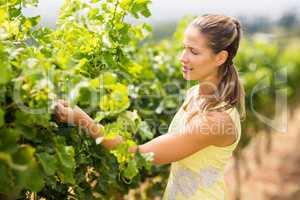 Female vintner inspecting grape crop
