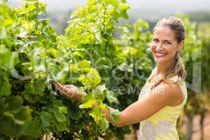 Portrait of smiling female vintner inspecting grape crop