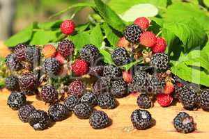 rich crop of black raspberry with berries on the boards