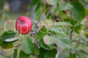One red organic apple on branch