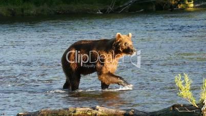 brown bear fishing in Dvukhyurtochnoye river Kamchatka