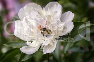 The flowers of peony bee collects nectar.