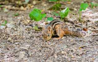 Close-up of chipmunk foraging on ground.