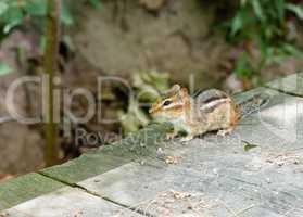 Alert chipmunk on wood deck in shadow.