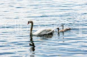 One adult mute swan with two young cygnets.