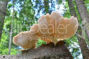 Oyster mushrooms on beech stump