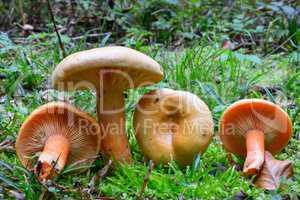False Saffron Milkcap mushrooms