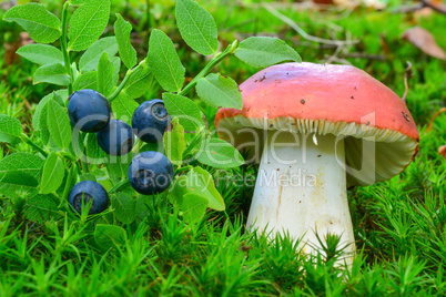 Delicious blueberries and toxic Sickener mushroom