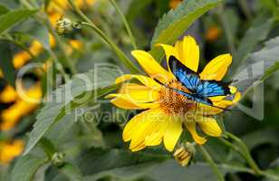 Beautiful butterfly sitting on a yellow flower rudbeckia.