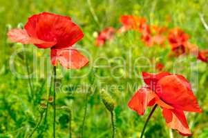 wild poppies,herbaceous plant with showy flowers, milky sap, and