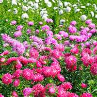 Flowerbed of multi-colored asters. Focus on a red flower.