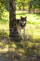 North American Gray Wolf in Forest