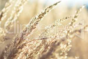 Golden grass close up