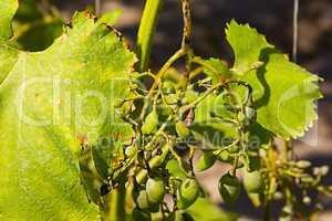 vine disease