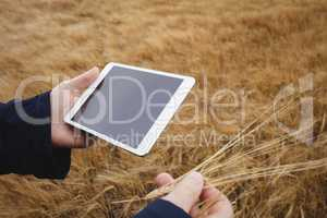 Farmer using digital tablet while checking ears of wheat