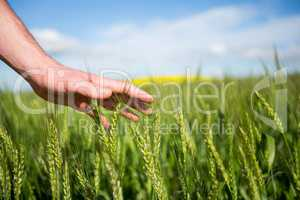 Close-up of man hand touching crops in field