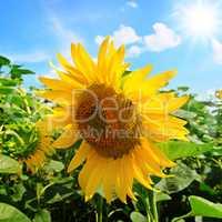 Sunflower flower against the blue sky and sun