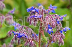 Borretsch - borage is blooming in blue