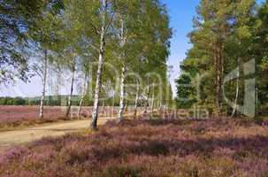 Heidelandschaft im Spätsommer mit Wanderweg - Heath landscape with flowering Heather and path