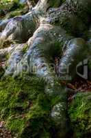 Beech tree root close up