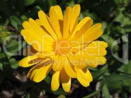 Ringelblume in gelb, Arzneipflanze