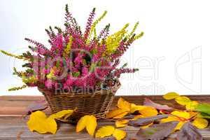 Korb Erica lila Heidekraut im Herbst als Freisteller
