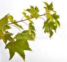 Herbst Bunte Ahornblätter Zweig