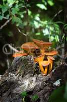 Close up of toxic jack-o'-lantern mushroom (Omphalotus olearius)