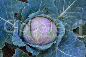 Organic red cabbage in the garden