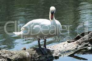 Weisser Schwan steht auf einem Baumstamm
