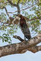 Rufescent tiger heron perched on tree branch
