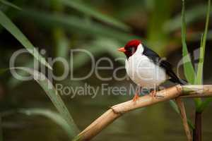 Yellow-billed cardinal perched on branch among reeds