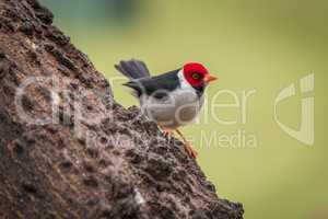Yellow-billed cardinal on tree trunk facing right