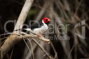 Yellow-billed cardinal on tree branch facing right
