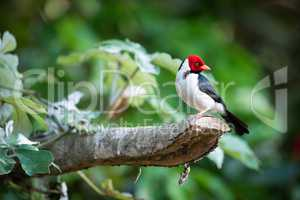 Yellow-billed cardinal on branch with turned head