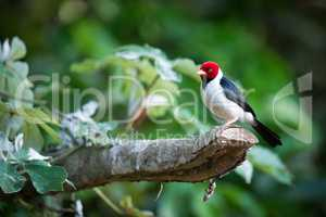 Yellow-billed cardinal on branch with blurred background