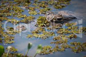 Yacare caiman surfacing through plants in river
