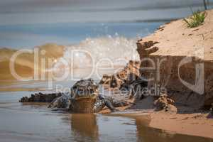 Yacare caiman on river bank with waves