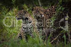 Two jaguar turning away among tall plants