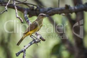Tropical kingbird on branch in dappled sunlight