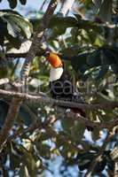 Toco toucan on branch with raised beak